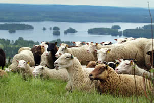 Finnsheep can be used in different kind of field and environment management projects with excellent results