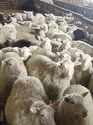 Finnsheep can be successfully raised with different farming systems, from intensive to organic production